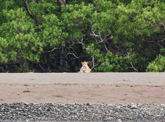 Le Jaguar vu a playa Potrero, côte pacifique nord du Costa Rica.