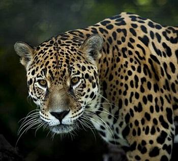 Jaguar a Barra del Colorado Costa Rica