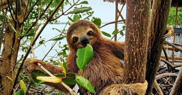 Le paresseux au Costa Rica, cotes caraïbes et Pacifique.