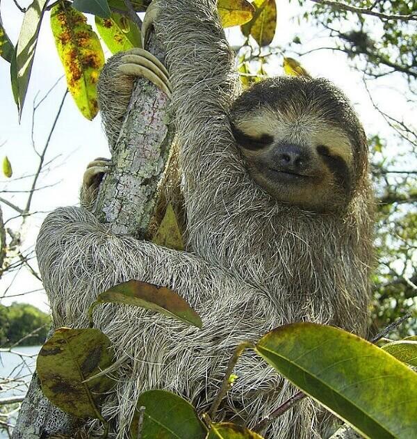 Le paresseux a trois doigts au Costa Rica