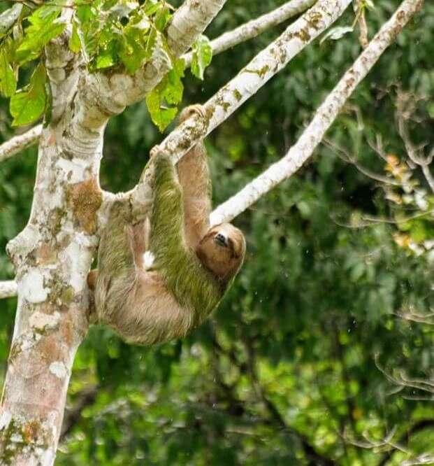 Le paresseux symbole No16 du Costa Rica.