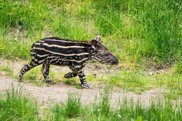 Tarifs et achat des entrées des parcs nationaux du Costa Rica, voyage sur mesure et observation des tapirs au Costa Rica