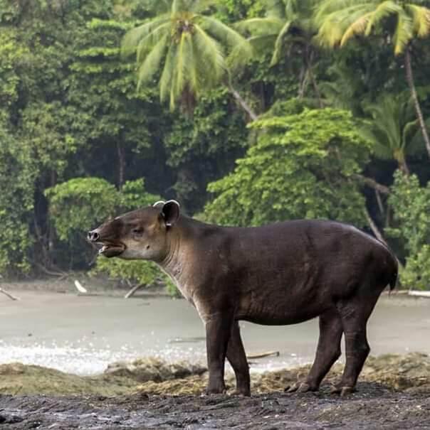Le tapir observé dans la péninsule de Osa, Costa Rica.