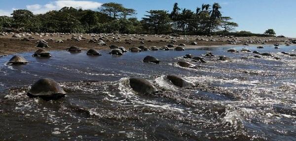 Plage de Ostional, Arrivée de tortues « arribada », péninsule de Nicoya, Costa Rica.
