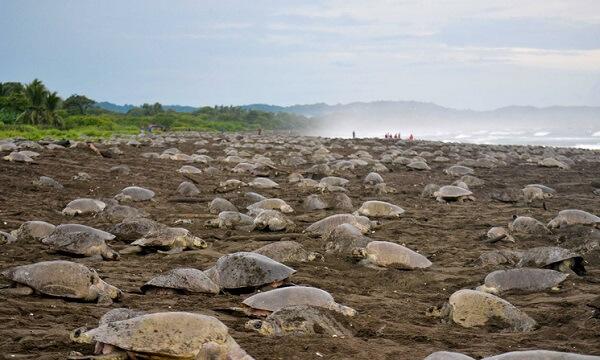 Arrivée de millier de Tortue (Arribada) a playa Ostional au Costa Rica.