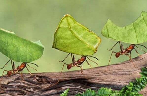 Les fourmis parasol au Costa Rica