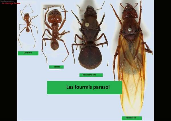 Les fourmis Zampopas ou parasol