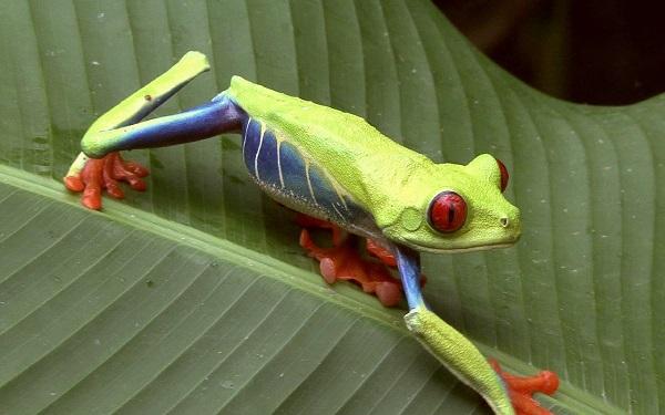 Grenouille au yeux rouges, ou arboricole au Costa Rica