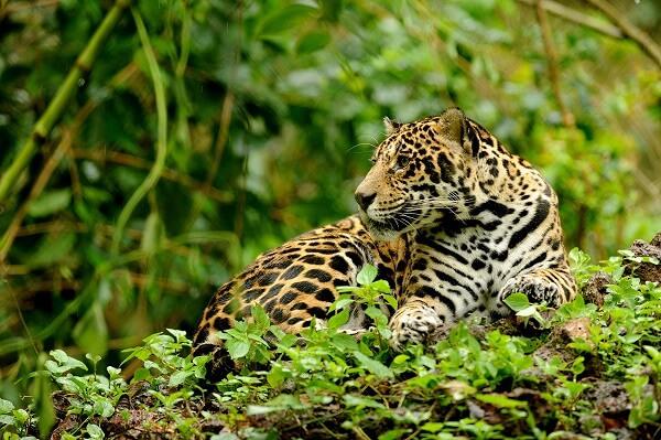 Le plus beau félin du Costa Rica, le jaguar