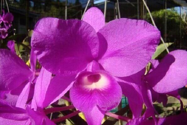 La réserve de Monteverde et de Santa Elena, Orchidée Guardia Marada, emblème du Costa Rica