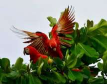 Faune et flore du Costa Rica, aras macaw