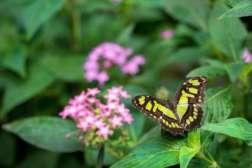 Faune et flore du Costa Rica, Papillon au Waterfall Gardens