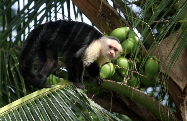 Le parc national de Cahuita, côte Caraïbe du Costa Rica, singe a face blanche ou capucin