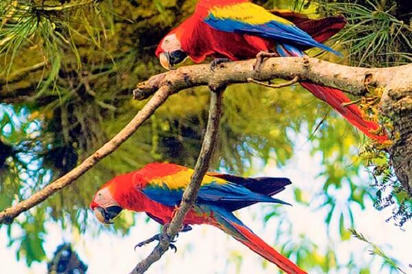 Le parc national de Carara, couple de Aras Macaw