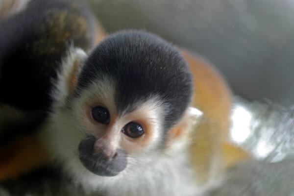 Le parc national de Manuel Antonio, single Mono Titi, côte Pacifique centrale du Costa Rica