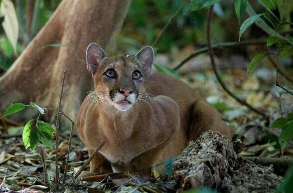 Le parc national du Rincon de la Vieja, Puma. Programme de voyage sur mesure au Costa Rica