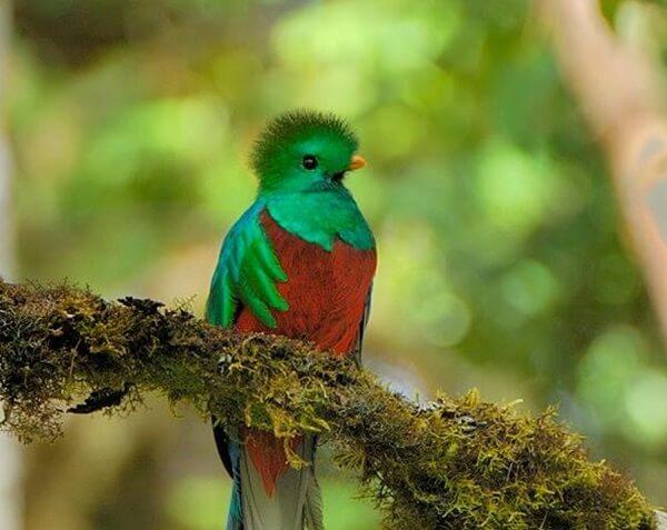 San Gerardo de Dota, Montagnes de Talamanca, parc de los Quetzales, le quetzal