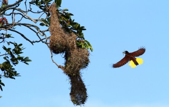 Hôtel du volcan Arenal, la Tigra Rain Forest lodge, Oropendola et son nid suspendu