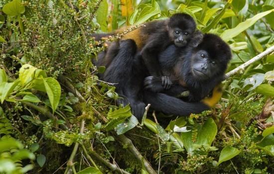 Singes hurleurs a la Tigra Rain Forest lodge