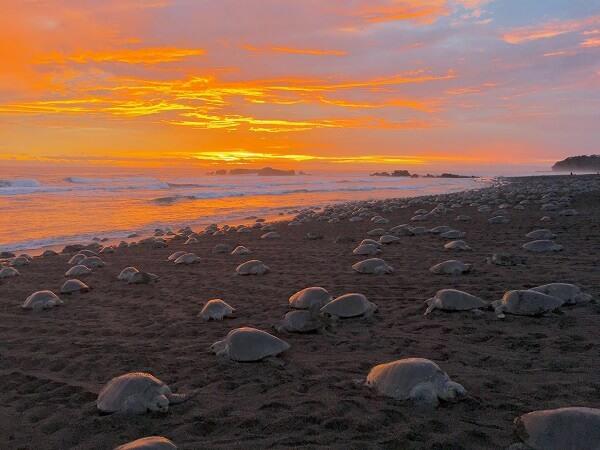 Séjour sur mesure au Costa Rica avec une agence locale française, Arriada a playa Ostional, tortues olivâtres ou Lora