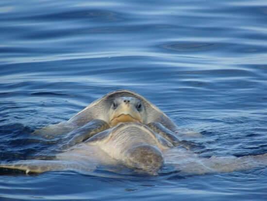 Voyage sur mesure au Costa Rica, couple de tortues marines dans le golf de Papagayo