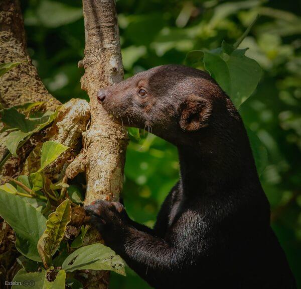 Une marte a tête grise ou Tolomuco dans la foret tropicale de Osa, voyager au Costa Rica