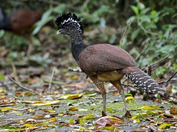 Le Grand Hocco ou Pavon dans le parc national de Manuel Antonio. Voyager au Costa Rica