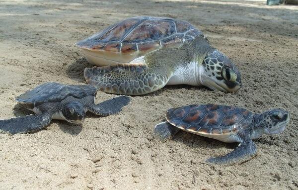 La ponte des tortues marines, un spectacle unique. Séjour sur mesure au Costa Rica
